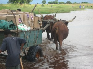 During the rainy season, an ox cart is the only reliable way to get health commodities across the flooded plains to rural health centers in Zambia's Western province. Photo Credit: USAID/Zambia