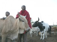 A Maasai father and son tend to their cattle in Kitengela, Kenya. Photo credit: ILRI/Stevie Mann