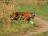 A large adult male tiger seen in the Terai Arc Landscape. Tiger conservation is a top priority in Nepal, a source and transit point of poaching and the illegal trade of wildlife. Photo credit: Christy Williams, WWF