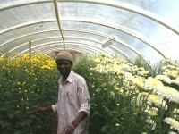 Paul Jean Marc, a member of one of Haiti's flower growers associations, shows one of the association's greenhouses filled with chrysanthemums. Photo credit: Feed the Future