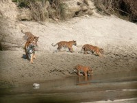 Female Bengal Tiger with her four cubs sighted at Bardia National Park, Terai Arc Landscape. Credit: Jakob Jespersen/WWF Nepal