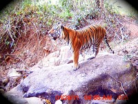 A tiger in Nepal. Photo Credit: USAID