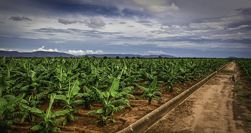 Smallholder farmer agricultural technologies, like irrigation, increase production and productivity of crops, like bananas in Zimbabwe. Photo credit: Bill Wamisley