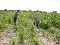 Traditional  tilling results in crops that are shorter and less abundant  (left) than those produced using conservation  agriculture methods (right), which include ripping and  furrowing the land, allowing it to retain more rainwater.