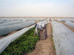 A farmer in Iraq grows healthy crops by using innovative irrigation techniques.