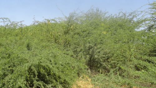 A view of Prosopis juliflora. Photo credit: Save the Children