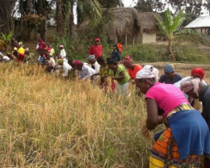 Members of a women's farming group harvest rice in Liberia. / David Benafel, USAID FED