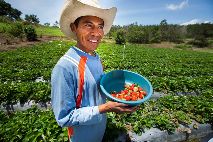 Emiliano Dominguez Gonzalez displays his recently harvested strawberries in Honduras. Feed the Future helped nearly 7 million farmers like Emiliano last year boost harvests by using new and improved technologies and agricultural practices. / USAID-ACCESO/Fintrac Inc.