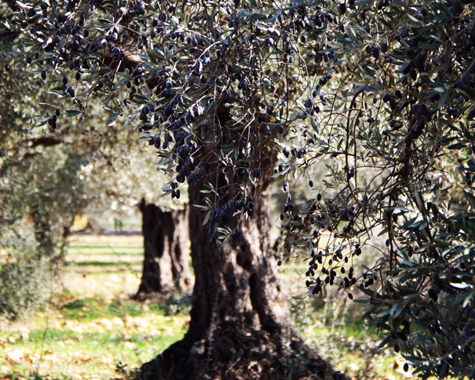The USAID-supported Olive Oil Without Borders project brings together Palestinian and Israeli farmers to increase the quality and quantity of olive oil. / Lubna Rifi, USAID