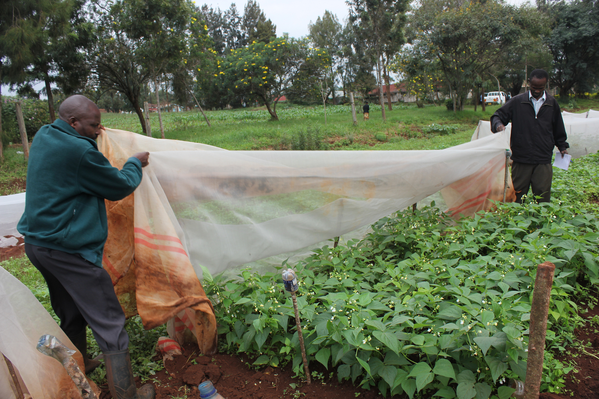 "Farmers spread a ""mosquito net for plants"" over crops to protect them from pests. A Feed the Future Innovation Lab is helping test the effectiveness of this eco-friendly technology and share it with smallholder farmers. / B. Dawson"