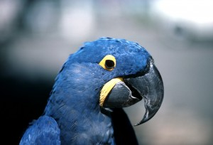 The endangered hyacinth macaw, pictured here in Pantanal, Brazil, is threatened by habitat loss and trapping for the pet trade. USAID works with partners around the world to protect habitat important to parrots and other wildlife while helping communities participate in and benefit from conservation. / Conservation International