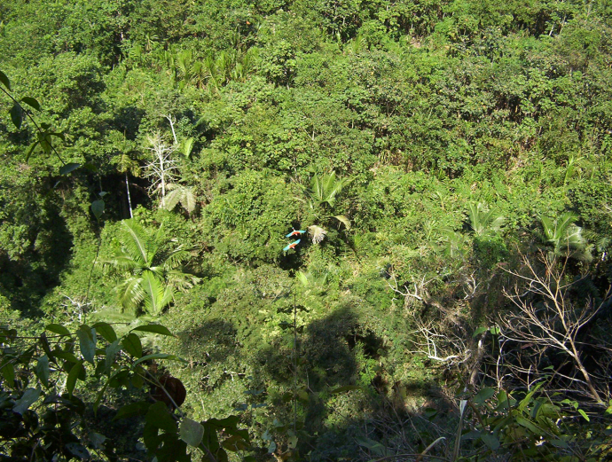 A pair of scarlet macaws flies over the forest canopy in their Andean Amazon home. Macaws are prolific seed dispersers, important to maintaining and recovering the highest biodiversity areas on the planet. / USAID
