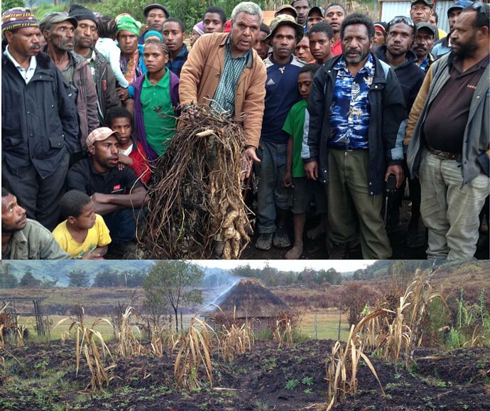 El Niño has already caused Papua New Guinea to be hit with both drought and frost, which damaged the country's main sweet potato crop. USAID worked to get farmers back on their feet and help communities cope with drought. / Ben Hemingway, USAID/OFDA