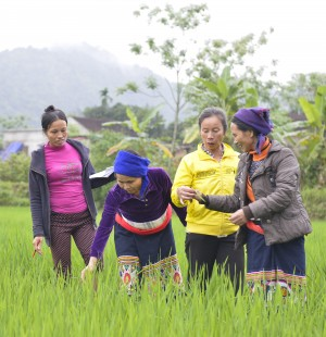 Agriculture projects such as this rice cultivation project in Vietnam can benefit from analysis early in planning to determine how climate change could affect outcomes. / Phuong Nguyen