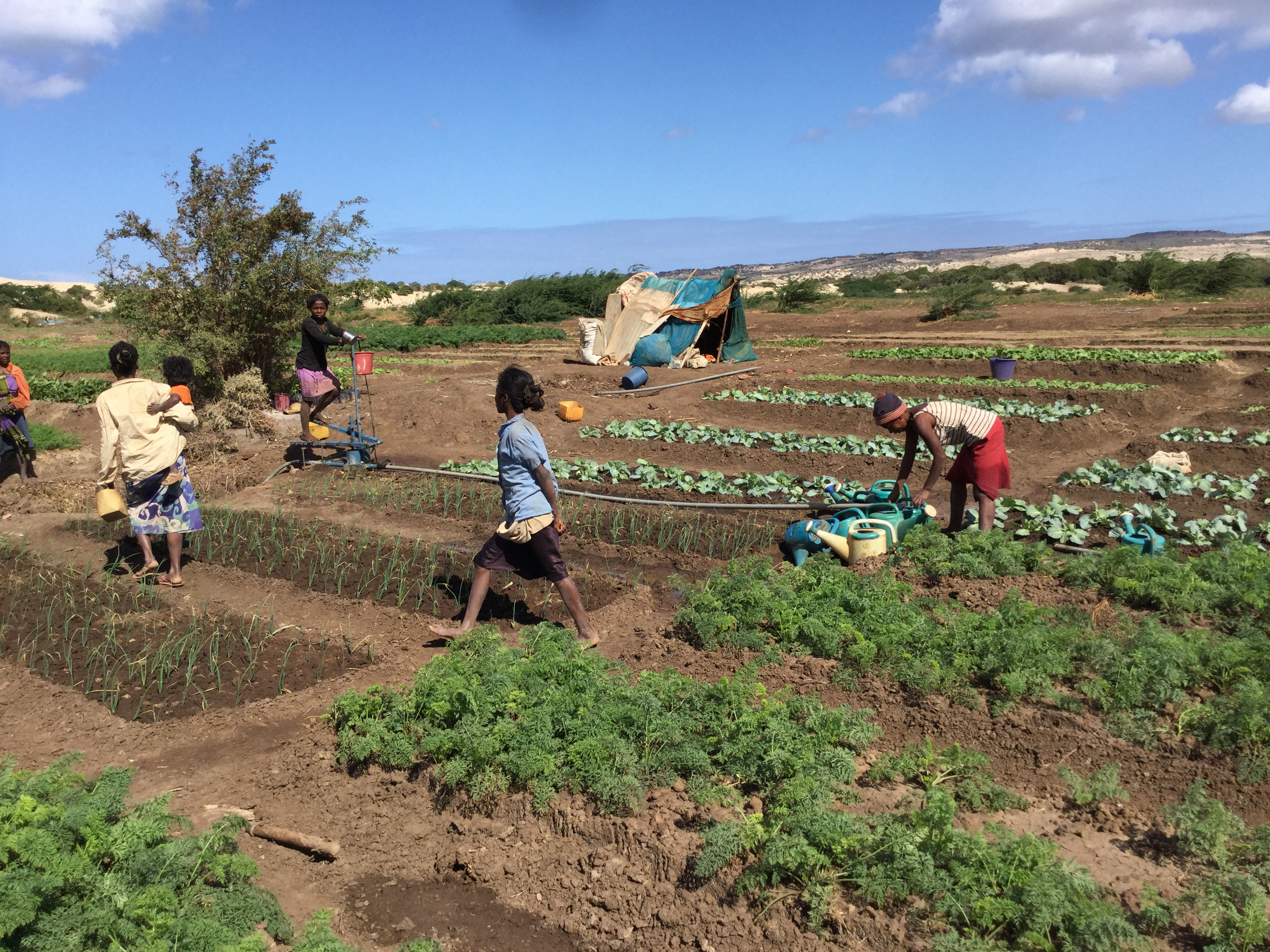Women farmers in Amboasary tend to a cleared communal vegetable field through a World Food Programme food for assets activity. / Christopher LaFargue, USAID