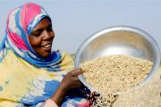 By partnering with local companies in Senegal's rice value chain, USAID is working to increase food security and decrease poverty. / USAID/Senegal.