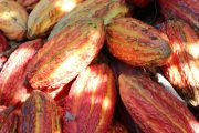 A close up of recently harvested red and green cacao pods